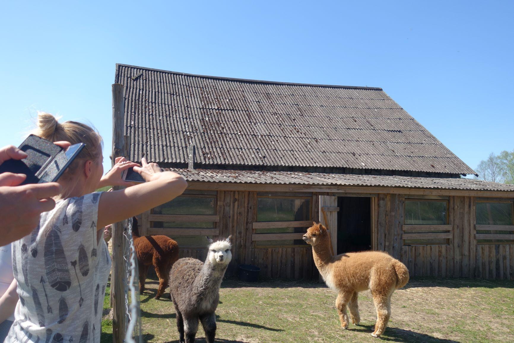 alpakaksvatustalu Wile farm