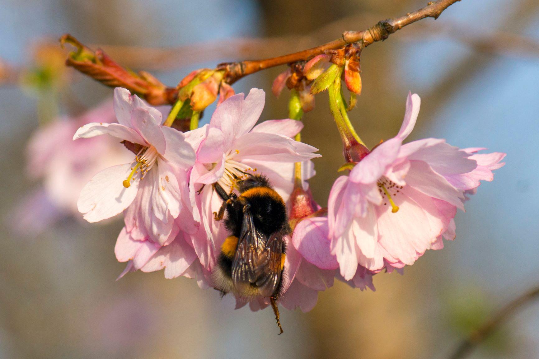 Mesilane õiel